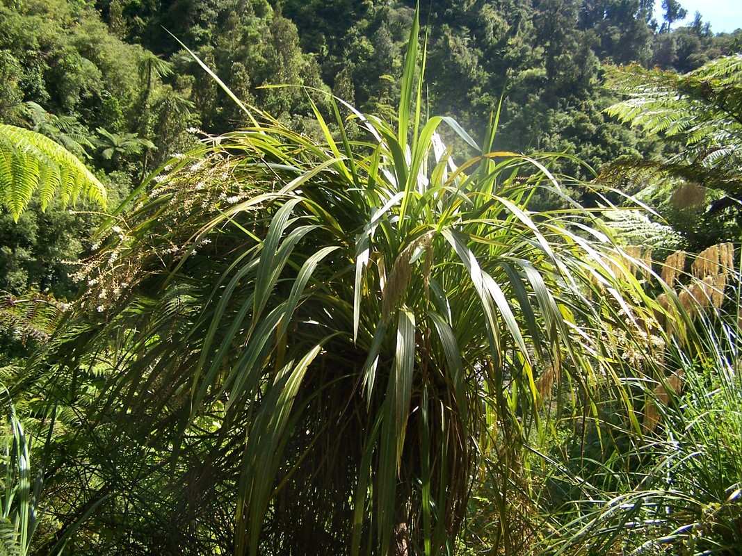 mountain cabbage tree